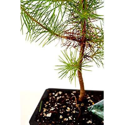 Japanese Black Pine Bonsai With Water Tray And Fertilizer 9greenbox