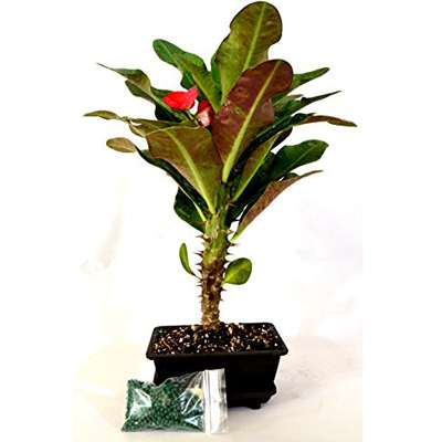 9GreenBox - Red Crown of Thorns Bonsai with Water Tray and Fertilizer - 9GreenBox