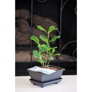 Gardenia Bonsai with Water Tray and Fertilizer