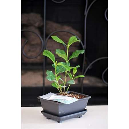 Gardenia Bonsai with Water Tray and Fertilizer - 9GreenBox