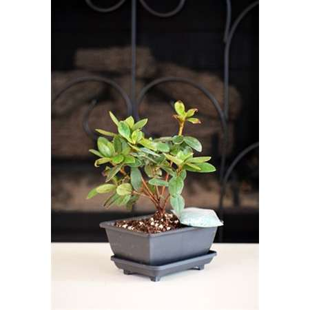 Azalea Bonsai with Water Tray and Fertilizer - 9GreenBox