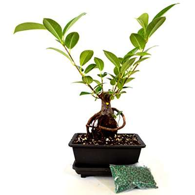 9GreenBox - Live Ginseng Ficus Bonsai Tree Bonsai - Small Ficus Retusa - Water Tray & Fertilizer Gift - 9GreenBox