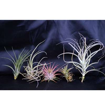 Air Plant - 5 Set - 9GreenBox