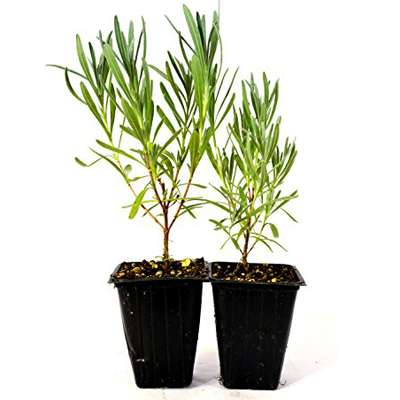 Provence French Lavender - 2 Pack - 9GreenBox