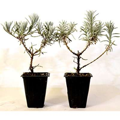 Silver Frost English Lavender - 2 Pack