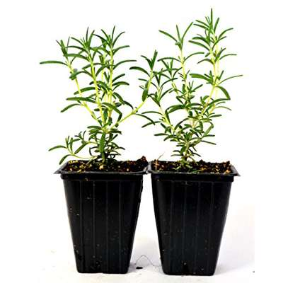 Tuscan Blue Rosemary - 2 Pack - 9GreenBox