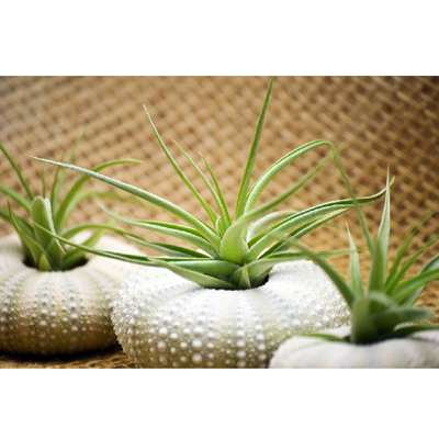 Air Plant Tillandsia Bromeliads 3 Gift Set with Sea Urchin Holiday - 9GreenBox