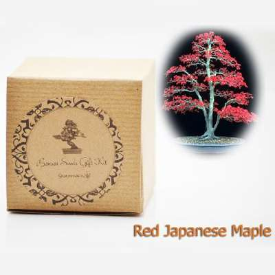 Red Japanese Maple Bonsai Seed Kit Gift Complete Kit To Grow 9greenbox