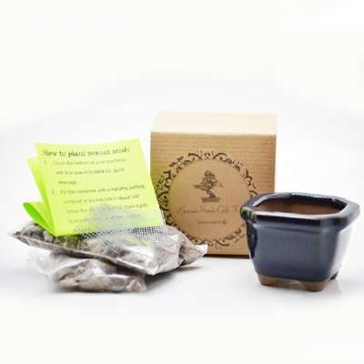 Red Japanese Maple Bonsai Seed Kit- Gift - Complete Kit to Grow - 9GreenBox