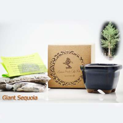 Giant Sequoia Bonsai Seed Kit- Gift - Complete Kit to Grow - 9GreenBox