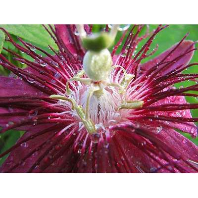 "9GreenBox - Lady Margaret Passion Flower - 4"" Pot - 9GreenBox"