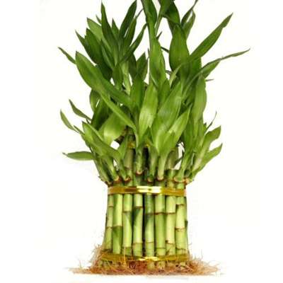 9GreenBox - 3 Tier 4 Inch, 6 inch, 8 inchTop Quality Lucky Bamboo For Feng Shui (Total About 38 Stalks)