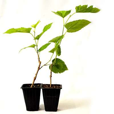 Dwarf Mulberry Tree - 2 Pack - 9GreenBox