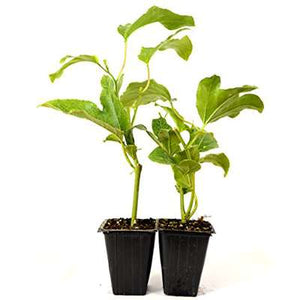 Edible Passion Flower - 2 Pack