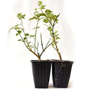 9GreenBox - Chinese Jasmine - 2 Set