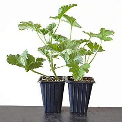 Citronella Geranium Mosquito Repellent Plants Large Size - 2 Pack - 9GreenBox