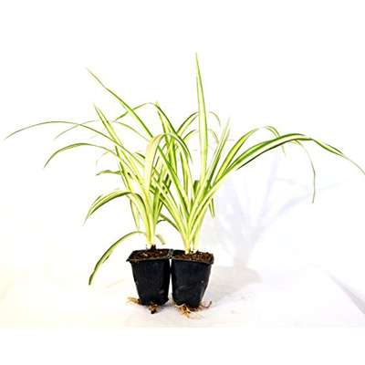 Ocean Spider Plant - Easy to Grow - Cleans the Air - NEW - 2 Pack