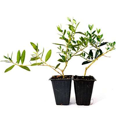 Olive Tree - Tree of Peace - Olea europaea - 2 Pack - 9GreenBox