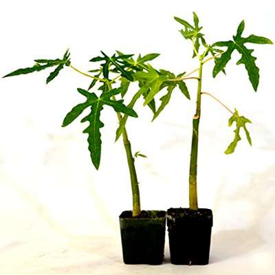 TR Hovey Papaya Carica L. Caricaceae ~ Miniature Tree- 2 Pack - 9GreenBox