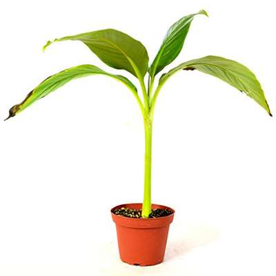 9GreenBox - Musa Banana Basjoo Tree - 4'' Pot - 9GreenBox
