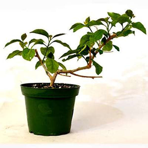 "9GreenBox - Royal Purple Bougainvillea Plant -Indoors/Out or Bonsai - 4"" Pot"