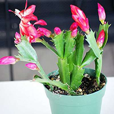 "9GreenBox - Red Christmas Cactus Plant - Zygocactus - 4"" Pot"