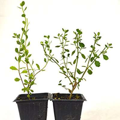 9GreenBox - Baccharis pilularis 'Twin Peaks' Evergreen Ground Cover Plants - 2 pack - 9GreenBox