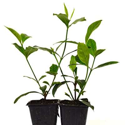 9GreenBox - Gardenia Jasminoides 'Veitchii' - Fragrant - 2 pack - 9GreenBox