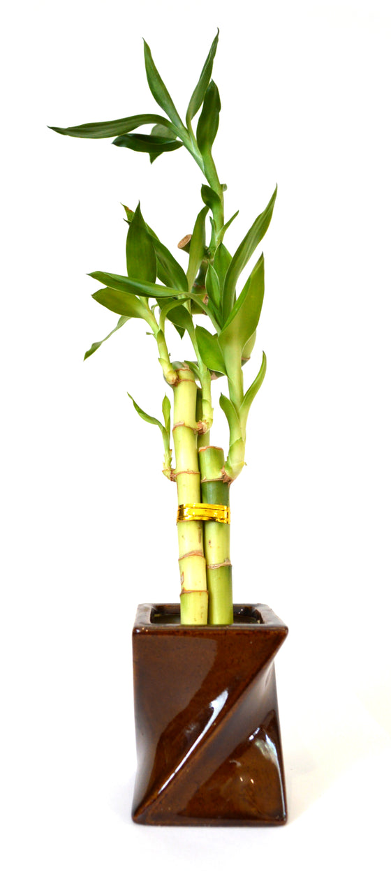 9GreenBox - Lucky Bamboo Spiral Style with Twisted Brown Ceramic Vase - 9GreenBox