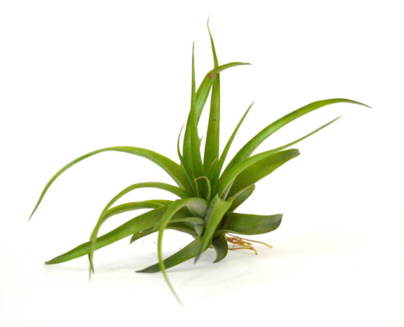 9GreenBox - Air Plant