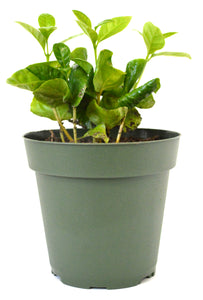 "9GreenBox - Arabica Coffee Plant - 4"" Pot"