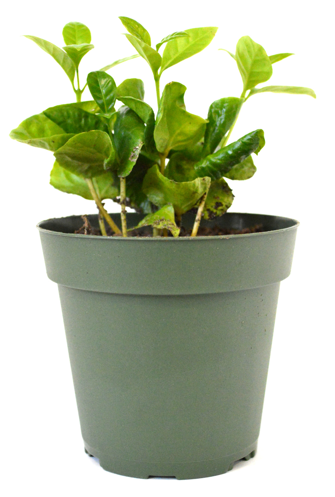 "9GreenBox - Arabica Coffee Plant - 4"" Pot - 9GreenBox"