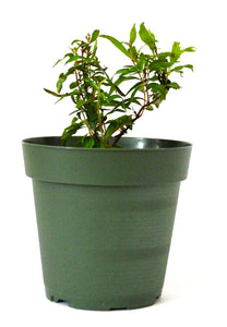 "9Greenbox - Dwarf Pomegranate Plant - 4"" Pot"