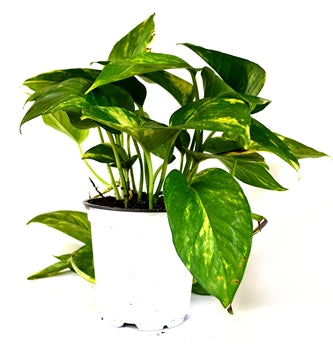 "9GreenBox - Golden Devil's Ivy - Pothos - Epipremnum - 4"" Pot - Very Easy to Grow - 9GreenBox"