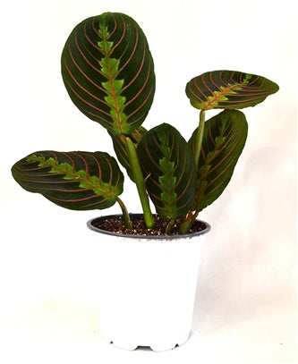 "9GreenBox - Red Prayer Plant - Maranta - Easy to Grow House Plant - 4"" Pot - 9GreenBox"