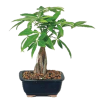 9GreenBox - Money Tree Bonsai - 9GreenBox