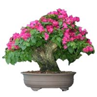 "Royal Purple Bougainvillea Plant - 3"" Pot - 9GreenBox"