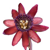 "Ruby Glow Passion Flower Plant - Passiflora - 4"" Pot - Easter Plant - 9GreenBox"