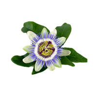 MAYPOP PURPLE PASSION FLOWER PLANT (PASSIFLORA INCARNATA) - 9GreenBox