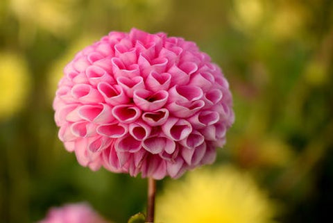 Happy Gardens - Dahlias