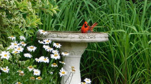 A red robin in a bird bath.