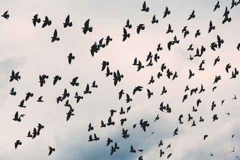 A huge flock of crows scatters