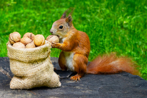 A squirrel eating a bag of nuts.