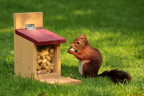 A squirrel eats peanuts from a squirrel feeder.