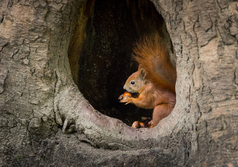 Squirrel in a tree trunk, eating nuts