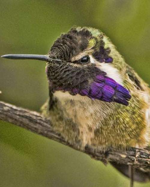 Costa's Hummingbird Gradient