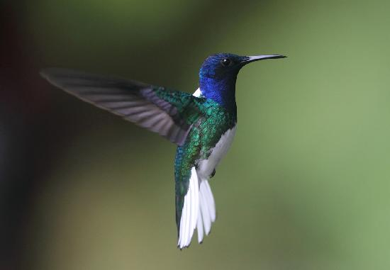 White-Necked Jacobin Gradient