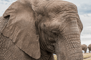 Elephants Are Losing Their Homes and They Need Your Help