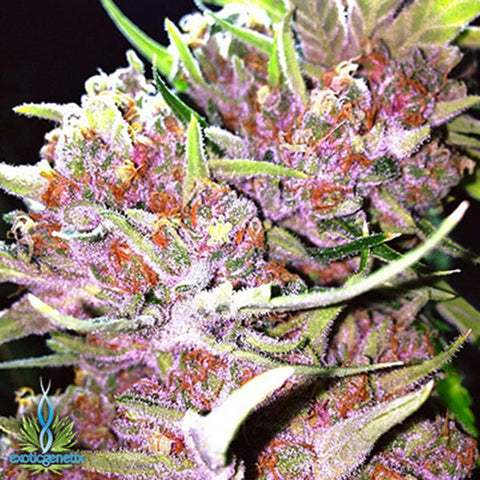 Pink | Exotic Genetix | SOL Seeds | Cannabis Seeds | Cannabis Seed Bank | Seed Bank