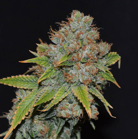 WHIP CREAM | Dusted Bud Genetics | SOL Seeds | Cannabis Seeds | Cannabis Seed Bank | Seed Bank